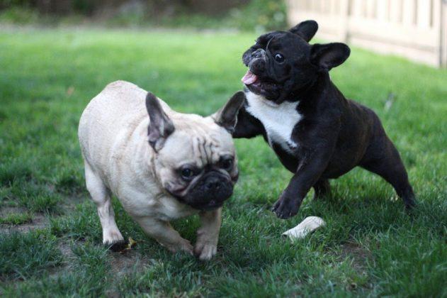 Самая маленькая в мире собака: порода, цена 12