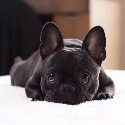 Самая маленькая в мире собака: порода, цена 14