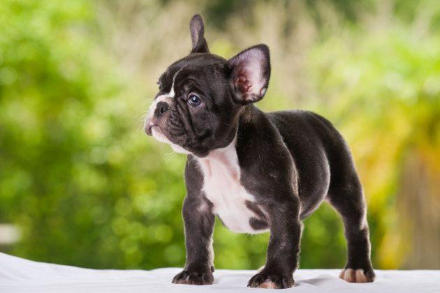 Самая маленькая в мире собака: порода, цена 13