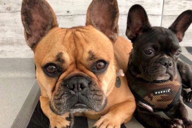 Самая маленькая в мире собака: порода, цена 16