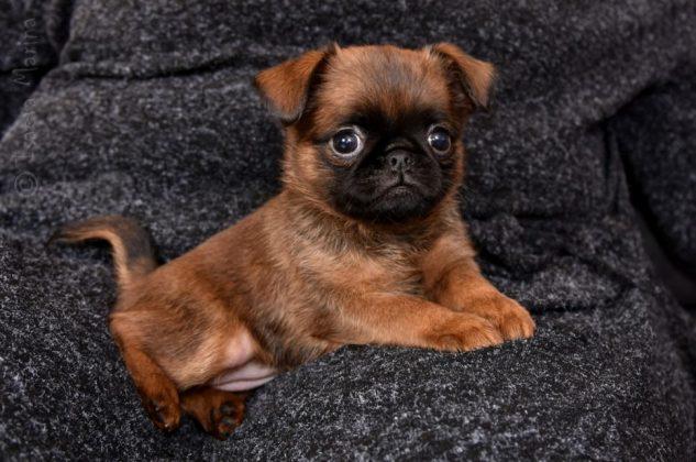 Самая маленькая в мире собака: порода, цена 18