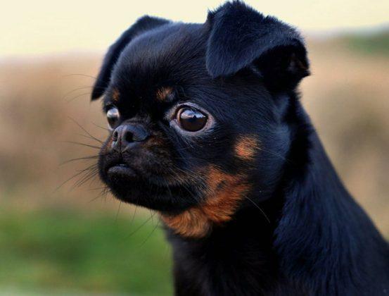 Самая маленькая в мире собака: порода, цена 20
