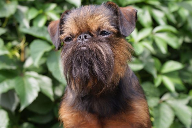 Самая маленькая в мире собака: порода, цена 19
