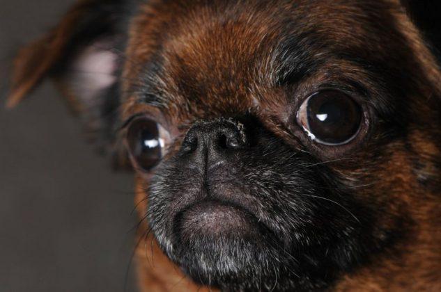 Самая маленькая в мире собака: порода, цена 21