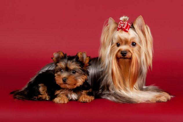 Самая маленькая в мире собака: порода, цена 5