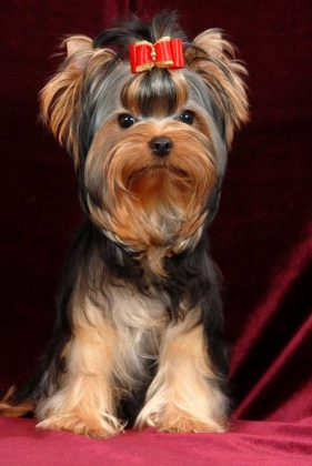 Самая маленькая в мире собака: порода, цена 6