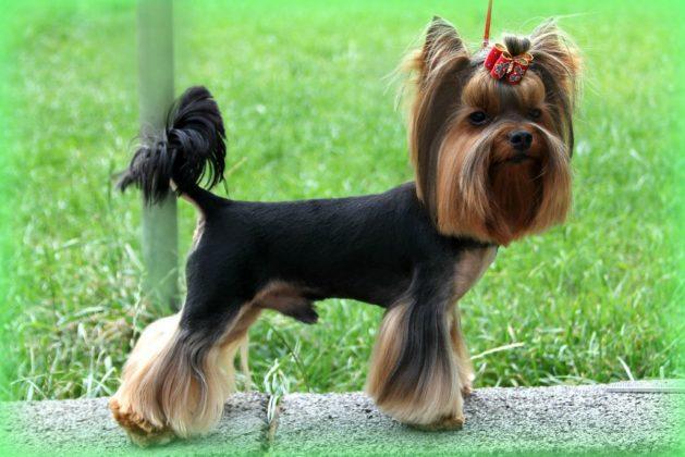 Самая маленькая в мире собака: порода, цена 8