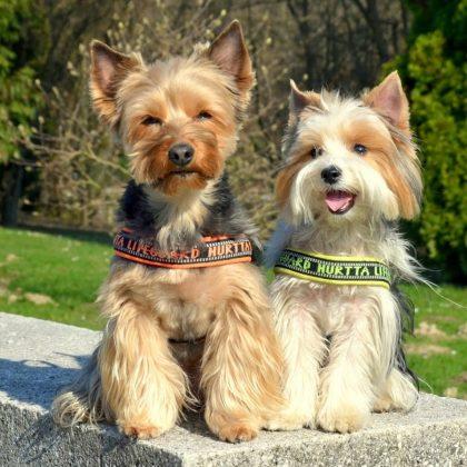Самая маленькая в мире собака: порода, цена 7