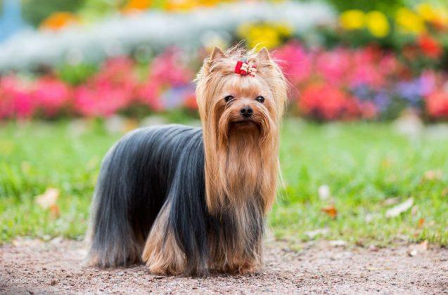 Самая маленькая в мире собака: порода, цена 10
