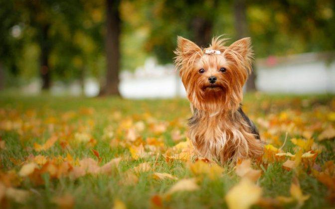 Самая маленькая в мире собака: порода, цена 9